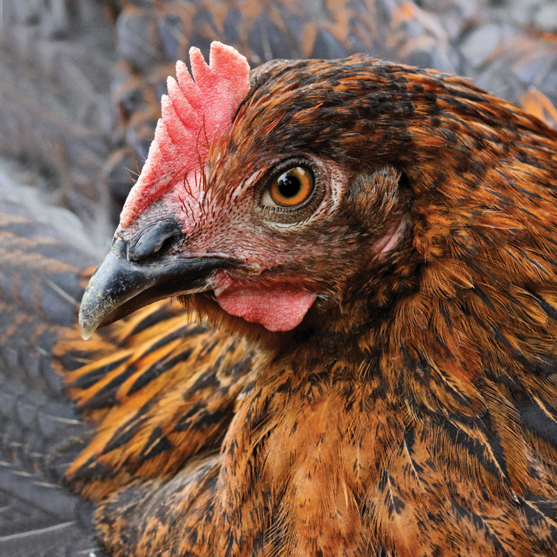 McMurray Hatchery | French Black Copper Marans
