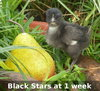 1 Week Old Black Star