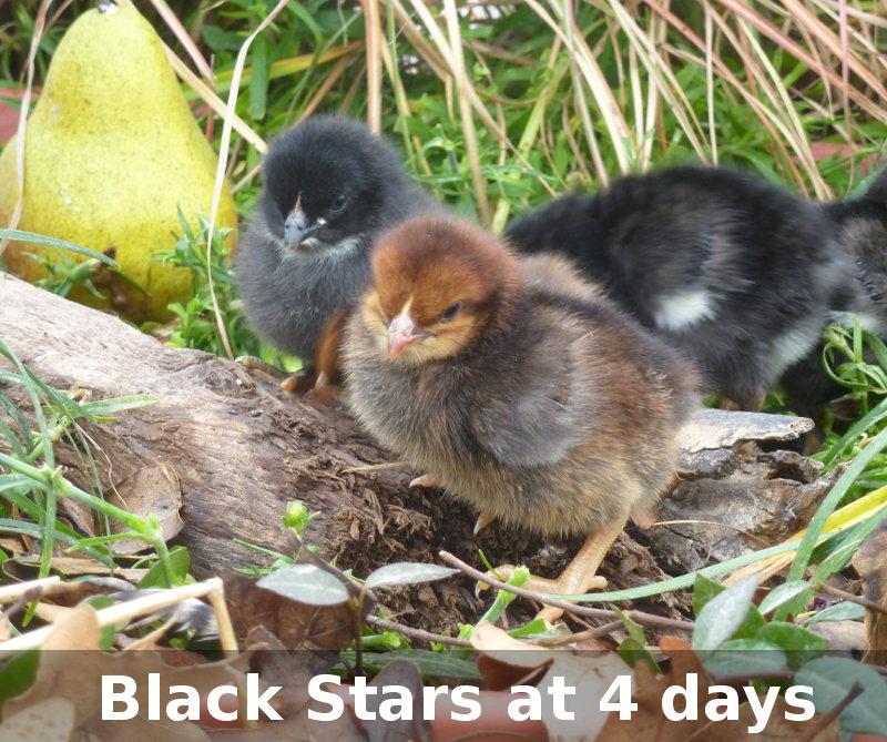 Murray Mcmurray Hatchery 4 Week Old Black Stars