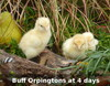 4 Day Old Buff Orpington