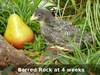 4 Week Old Barred Rock