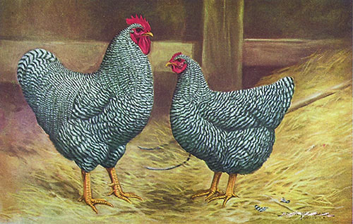barred rock rooster vs hen - photo #18