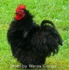 McMurray Hatchery Black Frizzle Cochin bantam