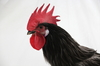 McMurray Hatchery Blue Andalusian rooster