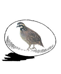 McMurray Hatchery Bobwhite Quail Hatching Eggs JAcky art drawing
