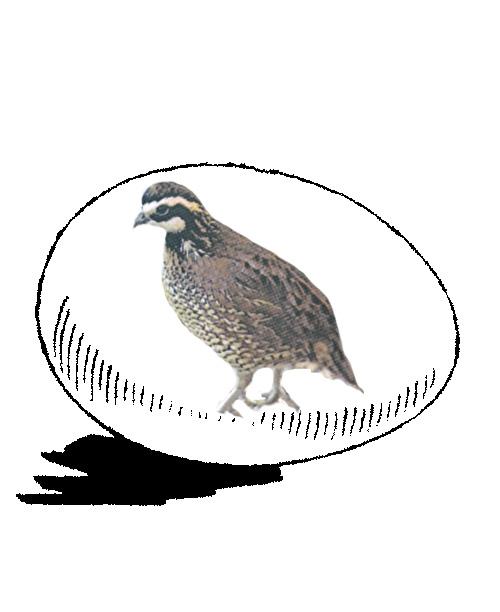 eggs Bobwhite Quail 12
