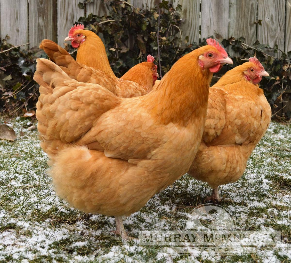 Wyandot chickens: characteristics, content, breeding and reviews 86