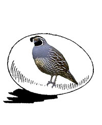 McMurray Hatchery California Valley Quail Hatching Egg Jacky Art Drawing