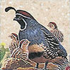 McMurray Hatchery Gambel Quail