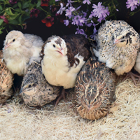 McMurray Hatchery Assorted Coturnix Quail