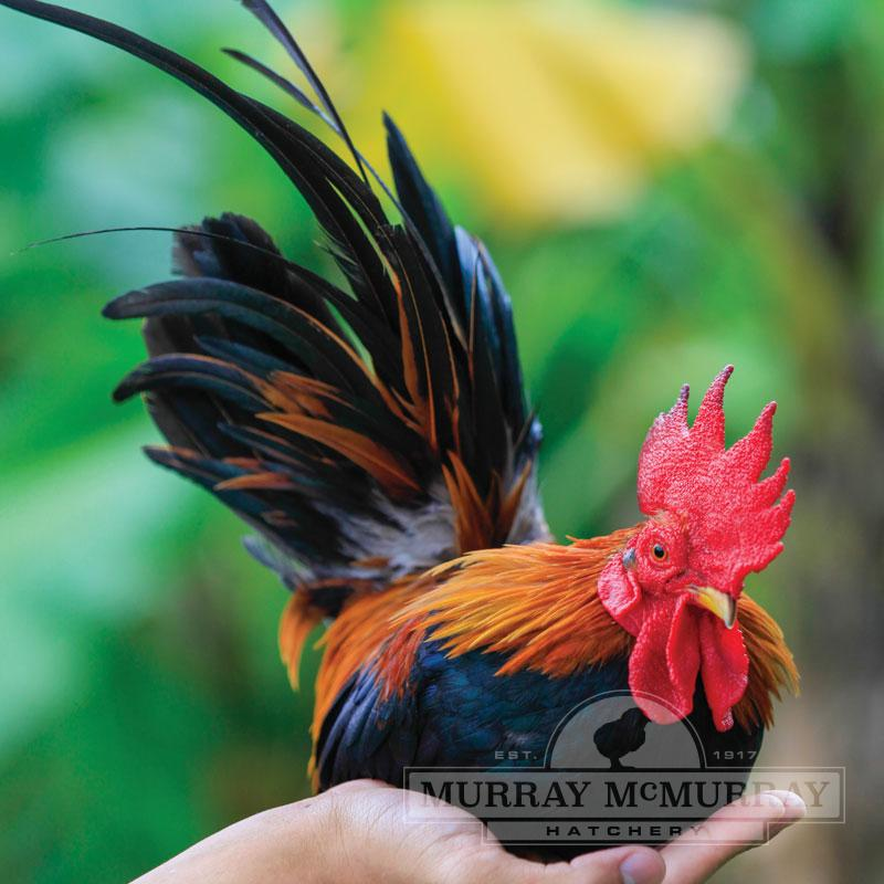 McMurray Hatchery BB Red Old English Game Bantam