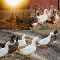 McMurray Hatchery Barnyard Combinations