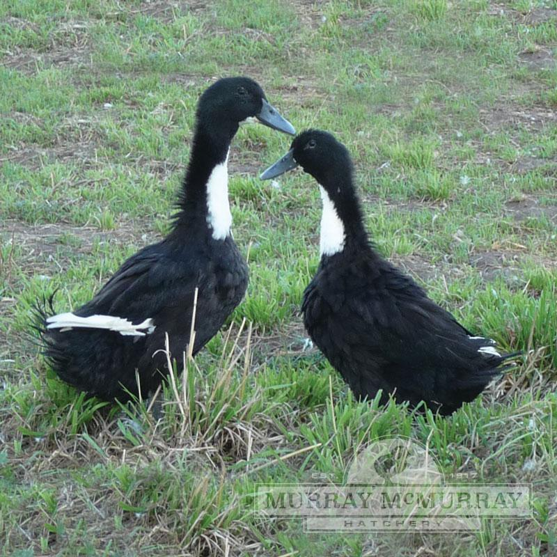 Murray Mcmurray Hatchery Black Swedish Ducks
