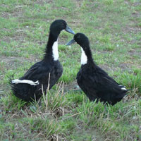 McMurray Hatchery Black Swedish Ducks