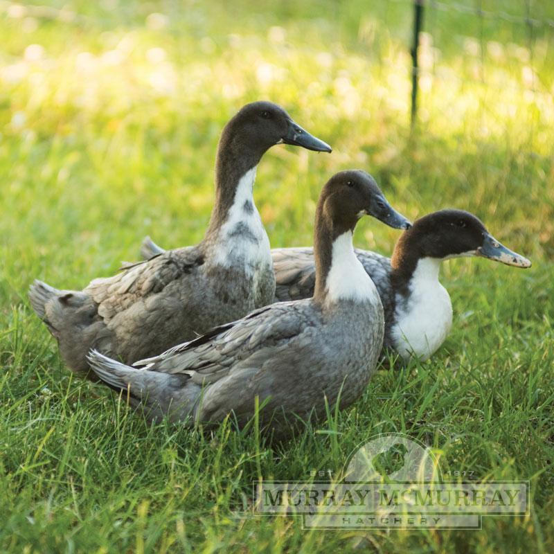 Murray Mcmurray Hatchery Blue Swedish Ducks