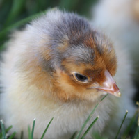 McMurray Hatchery Blue Laced Red Wyandotte Day-Old Baby Chick