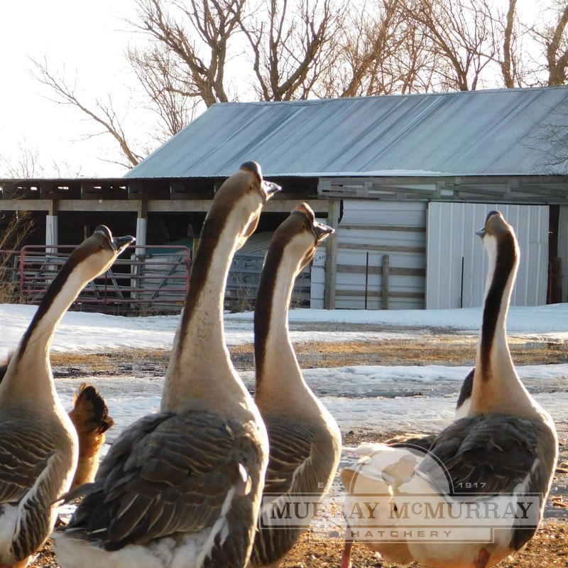McMurray Hatchery Brown Chinese Geese