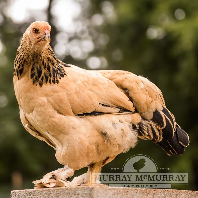 McMurray Hatchery Buff Brahma Bantam