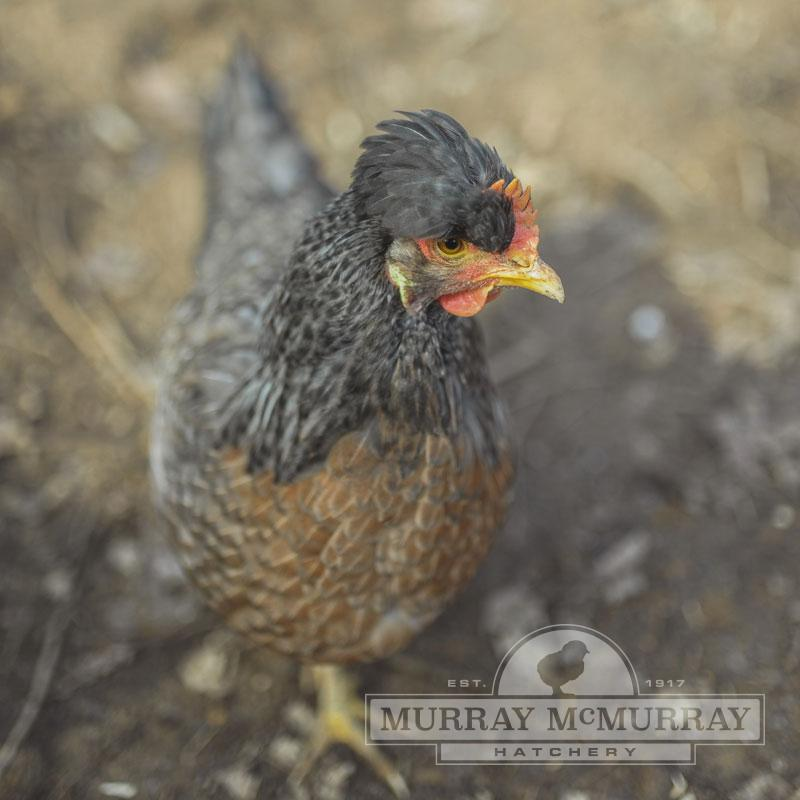 McMurray Hatchery Cream Legbar Hen