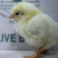 McMurray Hatchery Delaware Broiler Day-Old Baby Chick