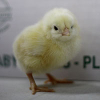 McMurray Hatchery Delaware Enhanced Heritage Broiler Baby Chick