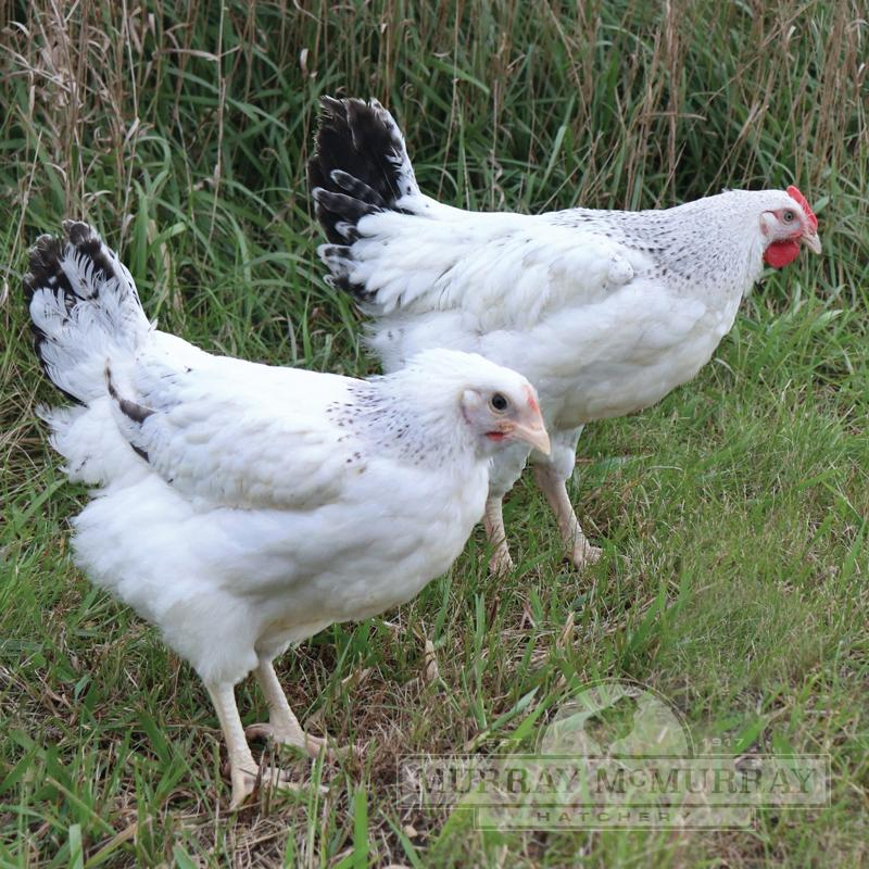 McMurray Hatchery Delaware Enhanced Heritage Broilers