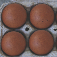 McMurray Hatchery French Black Copper Marans Eggs