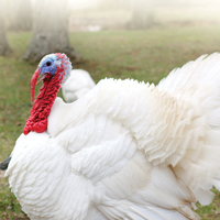 McMurray Hatchery Giant White Turkey