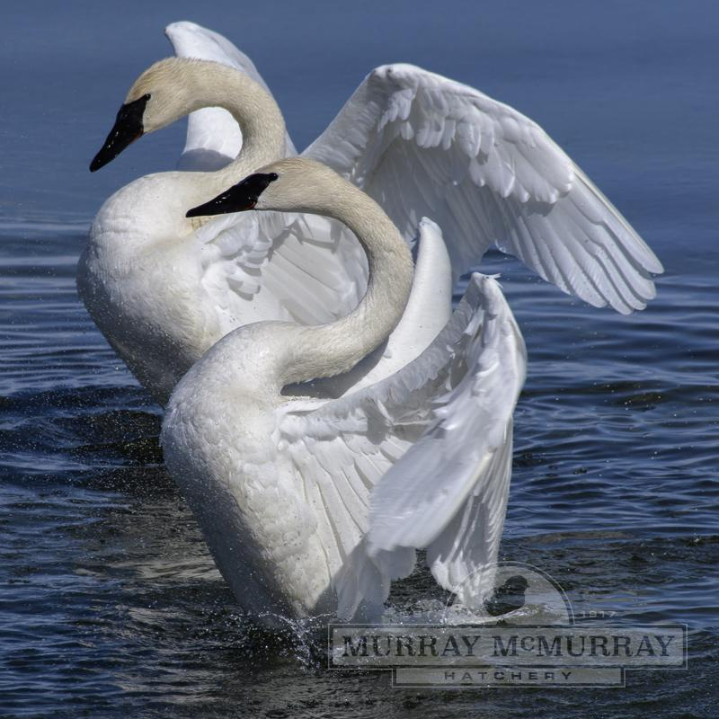McMurray Hatchery Trumpeter Swans