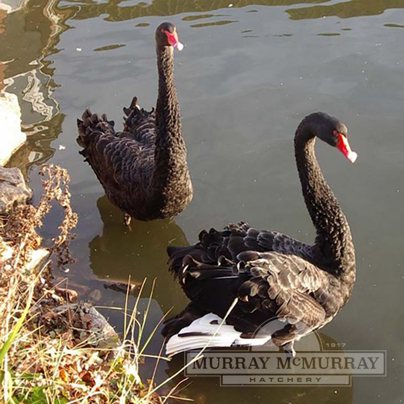 McMurray Hatchery Australian Black Swans