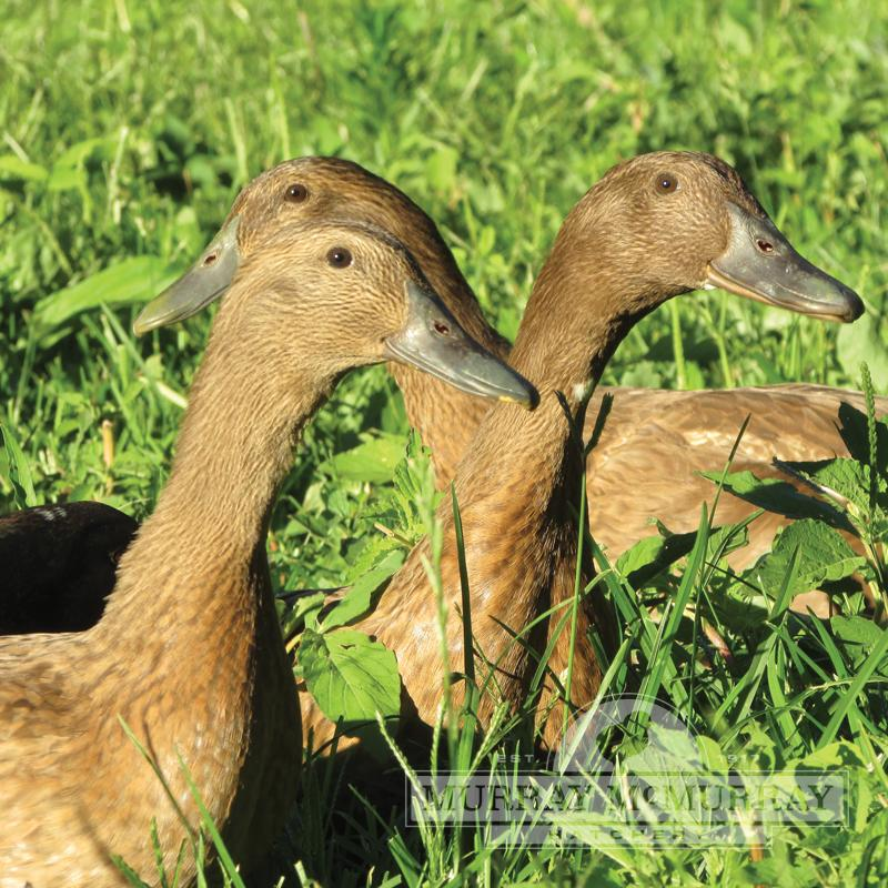 McMurray Hatchery Khaki Campbell Ducks
