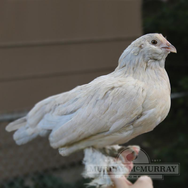 McMurray Hatchery Porcelain Belgian Bearded D'Uccle Bantam