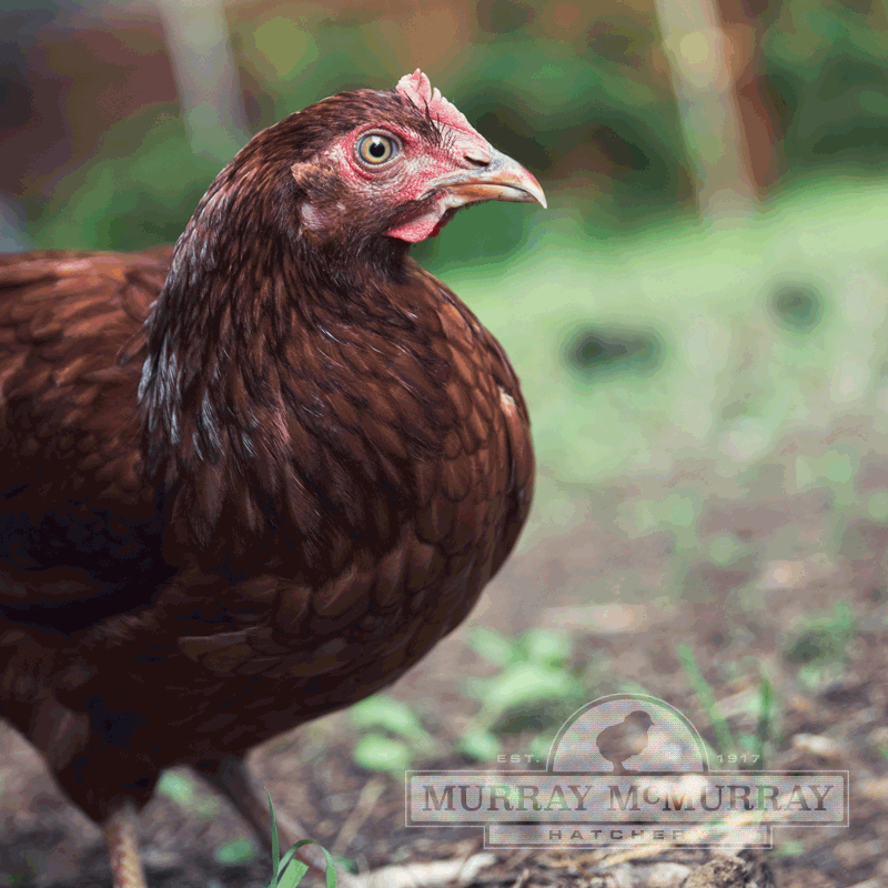 McMurray Hatchery Rhode Island Red Pullet