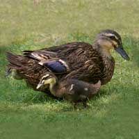 McMurray Hatchery Female Rouen Duck and Duckling