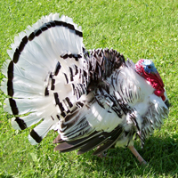 McMurray Hatchery Royal Palm Turkey Tom