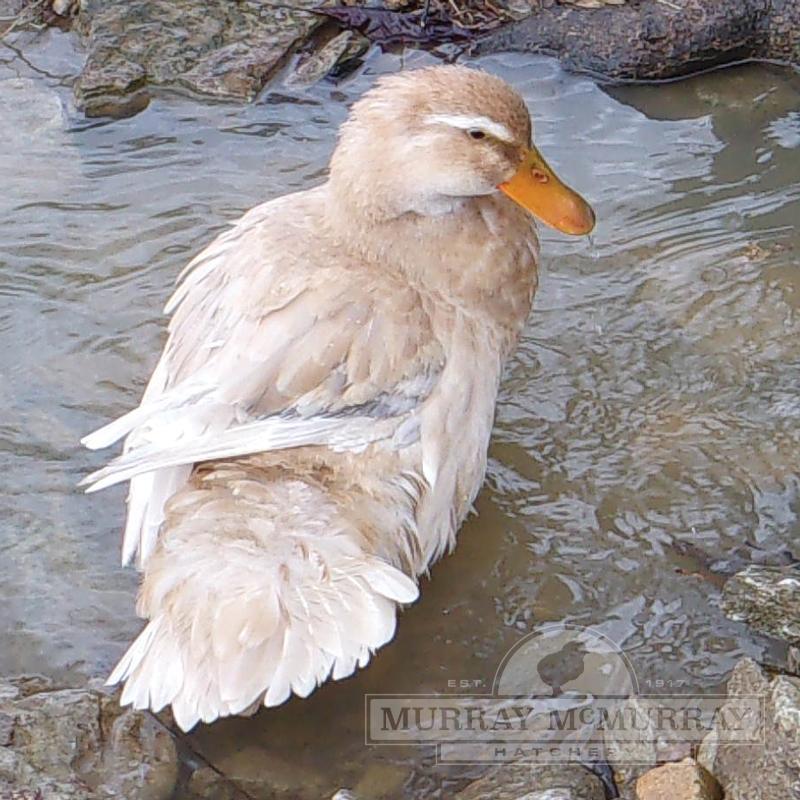 McMurray Hatchery | Saxony Ducks