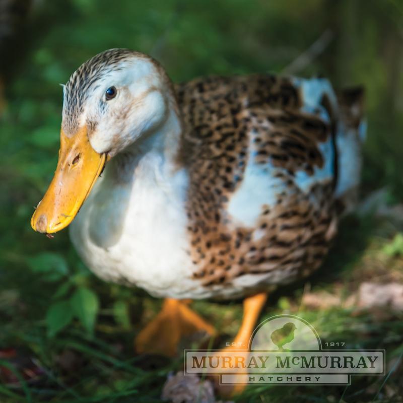 McMurray Hatchery | Silver Appleyard Ducks