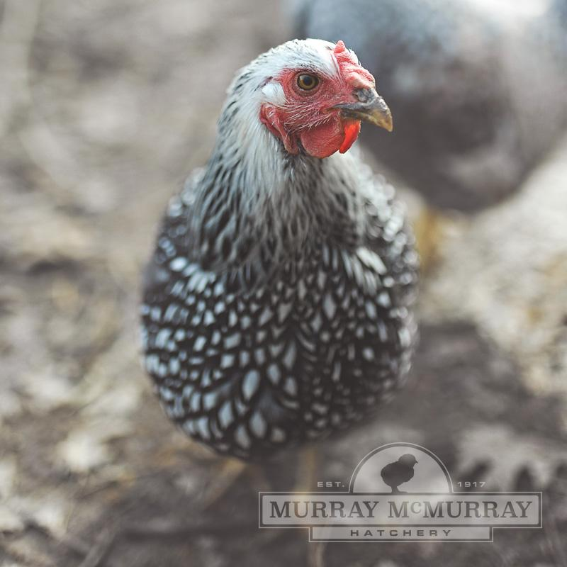 McMurray Hatchery Silver Laced Wyandotte
