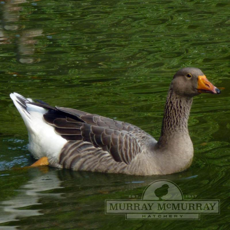 Murray Mcmurray Hatchery Toulouse Geese