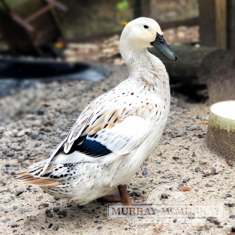 McMurray Hatchery Welsh Harlequin Duck