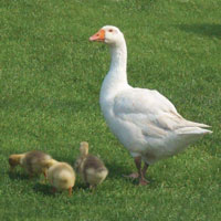 McMurray Hatchery White Embden Geese