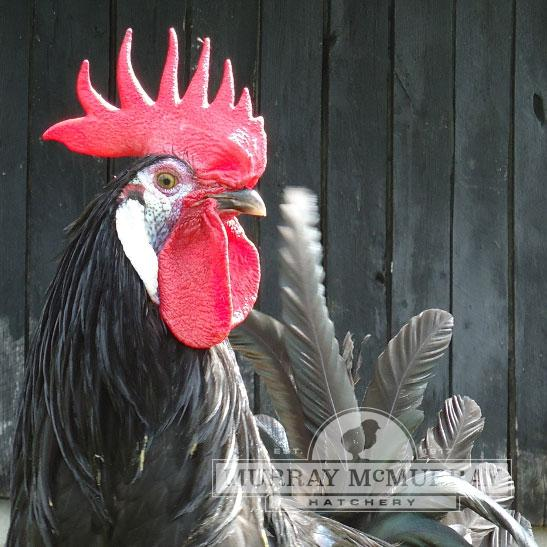 McMurray Hatchery White Faced Black Spanish Rooster