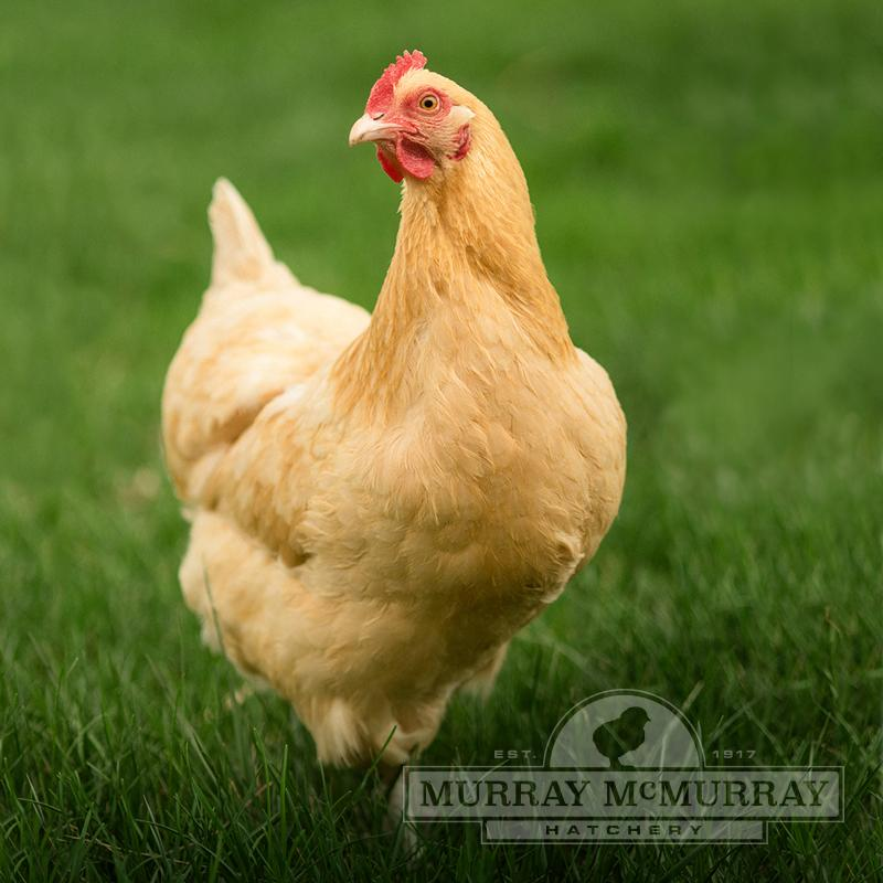Murray McMurray Hatchery - Buff Orpingtons