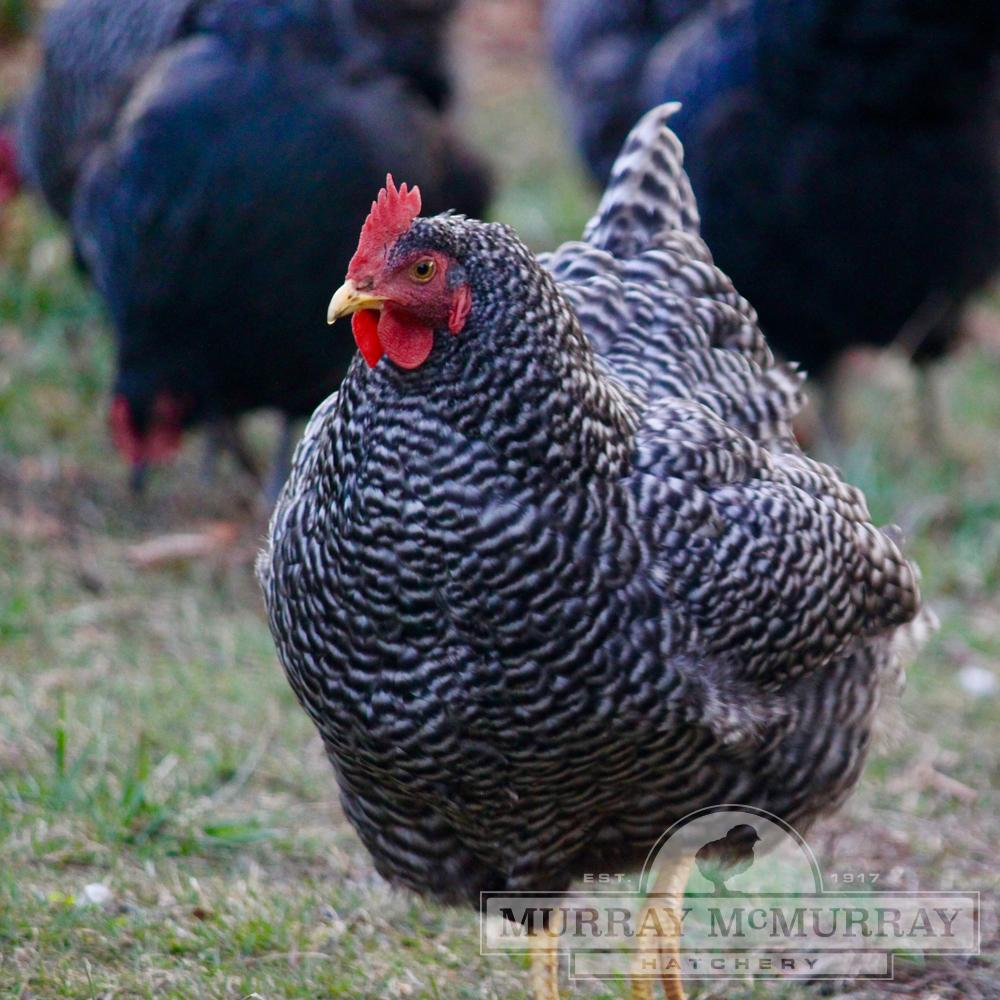 McMurray Hatchery Barred Rock (Plymouth Rock)