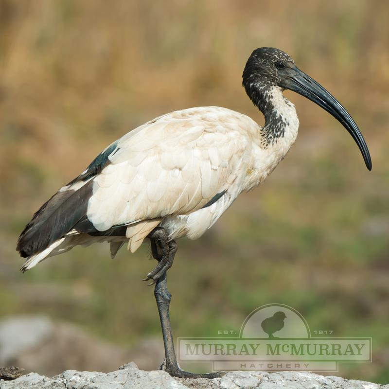 McMurray Hatchery Sacred Ibis