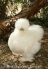Murray McMurray White Silkie Bantam