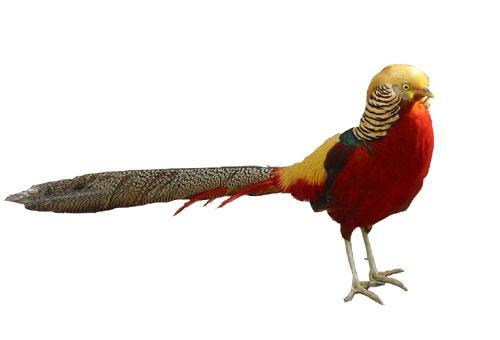 Murray McMurray Hatchery - Red Golden Pheasant Juvenile