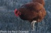 McMurray Hatchery Rhode Island Red Paul Ocampo picture