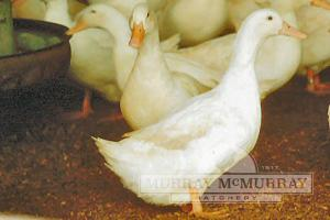 Sweet Emily (White Layer Duck)