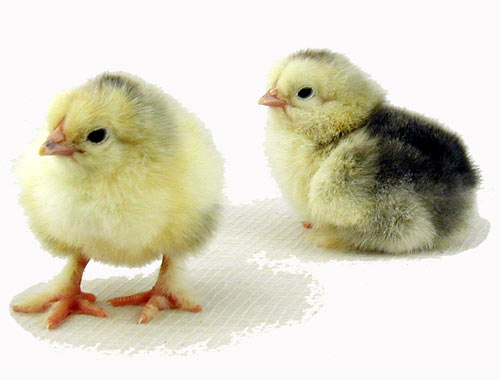 Image result for brahmin baby chickens